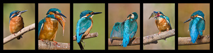 Eisvogel, Vogel, Foto Büscher, Felix Büscher